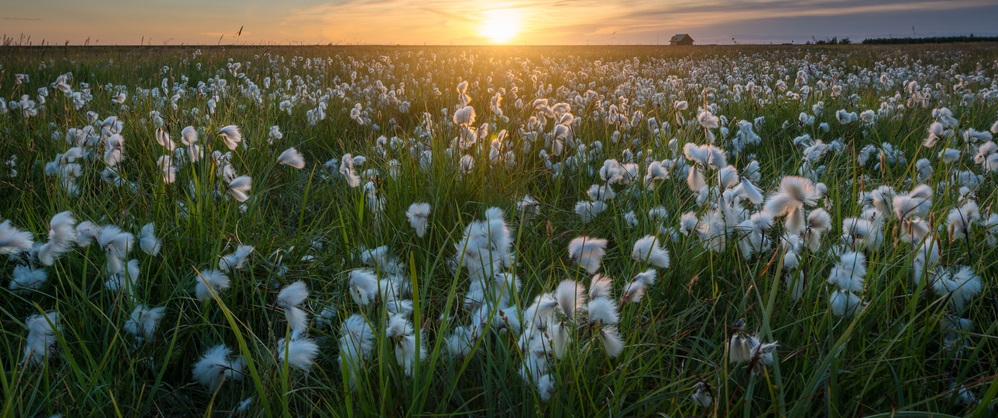 Cotton plants are useful for a multitude of things. And right now, cotton fiber is in a bull market, with room for us to make money.