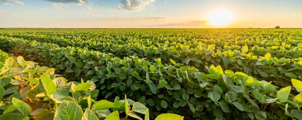 soybeans could be the breakout crop of 2019 as chinese demand is up
